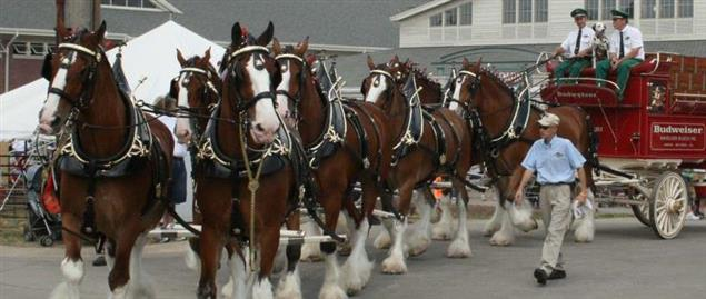 The eight-horse team of Clydesdales, pulling the Budweiser wagon.